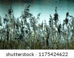 close up common reed  common...   Shutterstock . vector #1175424622