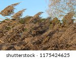 close up common reed  common...   Shutterstock . vector #1175424625