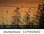 close up common reed  common...   Shutterstock . vector #1175424652