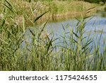 close up common reed  common...   Shutterstock . vector #1175424655