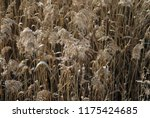 close up common reed  common...   Shutterstock . vector #1175424685