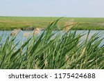 close up common reed  common...   Shutterstock . vector #1175424688