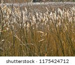 close up common reed  common...   Shutterstock . vector #1175424712