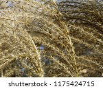 close up common reed  common...   Shutterstock . vector #1175424715