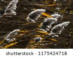 close up common reed  common...   Shutterstock . vector #1175424718