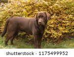 brown labrador retriever... | Shutterstock . vector #1175499952