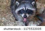 raccoon in the zoo | Shutterstock . vector #1175522035