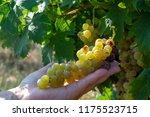 ripe white wine grapes plants... | Shutterstock . vector #1175523715