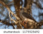 the southern pale chanting... | Shutterstock . vector #1175525692