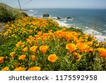 california poppies along the... | Shutterstock . vector #1175592958