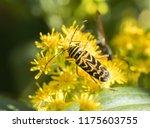 A Long Horned Locust Borer...