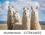 animals of the argentine north | Shutterstock . vector #1175616652