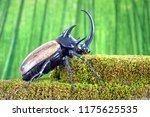 unicorn beetle  eupatorus... | Shutterstock . vector #1175625535