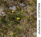 tormentil  potentilla erecta ... | Shutterstock . vector #1175729848