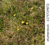 tormentil  potentilla erecta ... | Shutterstock . vector #1175729872