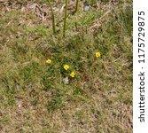 tormentil  potentilla erecta ... | Shutterstock . vector #1175729875