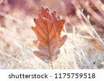 autumn leaf in the frost. oak... | Shutterstock . vector #1175759518