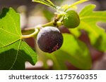 A Fig Hangs On The Branch With...