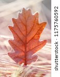 autumn leaf in the frost. oak... | Shutterstock . vector #1175760592
