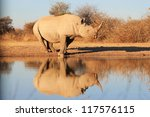 An Adult Male Black Rhino At A...