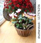 Bush of beautiful red chrysanthemum and tender pink cyclamens - stock photo