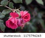 Roses In The Rain Wild Rose...