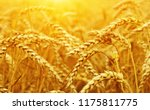 wheat closeup. wheat field on...   Shutterstock . vector #1175811775