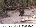 wallaby on the way to wineglass ... | Shutterstock . vector #1175823745