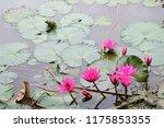 pink lotus flowers | Shutterstock . vector #1175853355