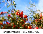 Rose Hips In The Summer
