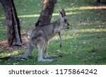 Female Eastern Grey Kangaroo ...