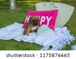 Brown Sweet Boxer Puppy Sittin...