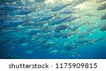 group of tuna fish in sea. | Shutterstock . vector #1175909815