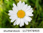 white daisy on a green blurred... | Shutterstock . vector #1175978905