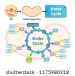krebs cycle vector illustration.... | Shutterstock .eps vector #1175980318