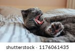 Stock photo grey scottish fold cat waking up in bed 1176061435