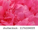 close up of purple peony flower | Shutterstock . vector #1176104035