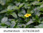 yellow flowers at full bloom... | Shutterstock . vector #1176136165