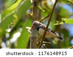 zebra finch on a branch | Shutterstock . vector #1176148915