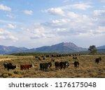 cattle on a field in idaho....   Shutterstock . vector #1176175048