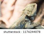 Iguana Rests On Branch  Close...