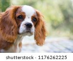 happy spaniel on a summer outing | Shutterstock . vector #1176262225