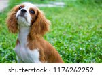 king charles charles  with... | Shutterstock . vector #1176262252