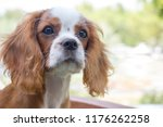 beautiful brown white dog... | Shutterstock . vector #1176262258