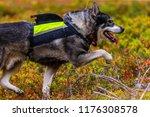 hunting dog seeking prey in the ... | Shutterstock . vector #1176308578