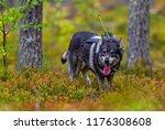 hunting dog seeking prey in the ... | Shutterstock . vector #1176308608