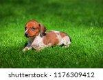 Stock photo dachshund puppy autumn garden 1176309412