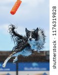 border collie twisting in mid... | Shutterstock . vector #1176319828