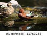 A Male Cinnamon Teal Duck...