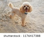 cute poodle puppy of cream... | Shutterstock . vector #1176417388